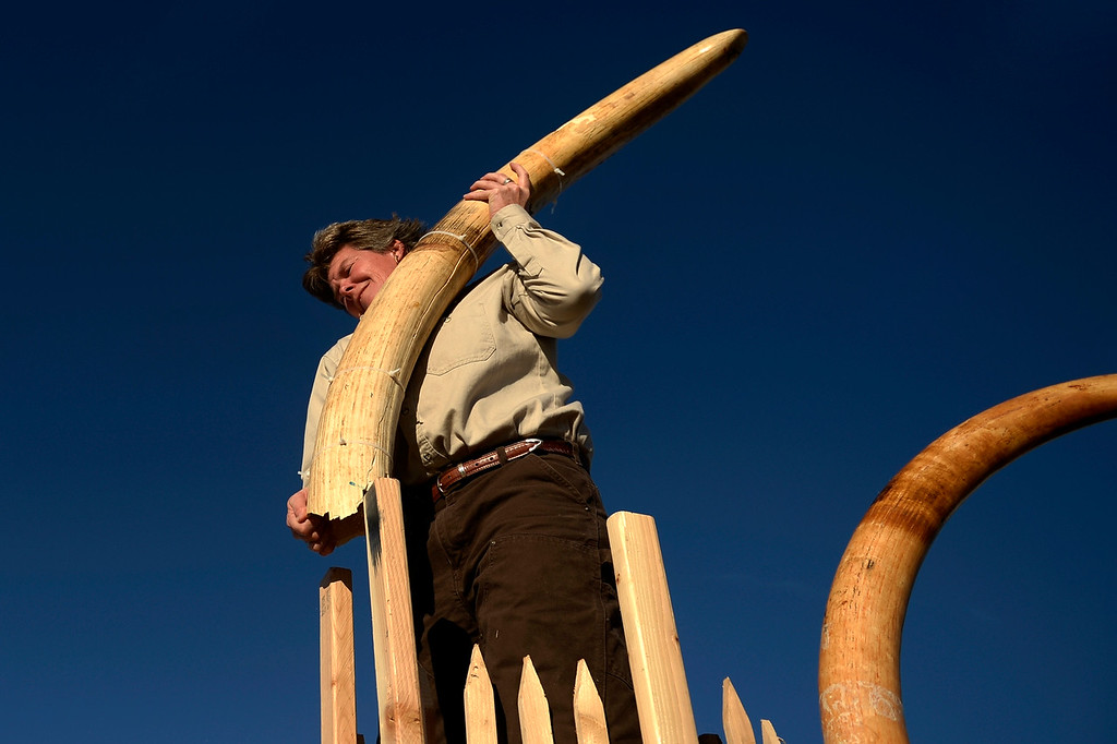 Description of . COMMERCE CITY, CO. - November 14: Tracy Ellis , wildlife inspector at DIA loading the last tusks as the US Fish and Wildlife service, at the direction of President Obama, crushed tons of ivory at the Rocky Mountain Arsenal Wildlife Refuge in effort to stymie the illegal taking of wildlife November 14, 2013 Commerce City, CO. (Photo By Joe Amon/The Denver Post)