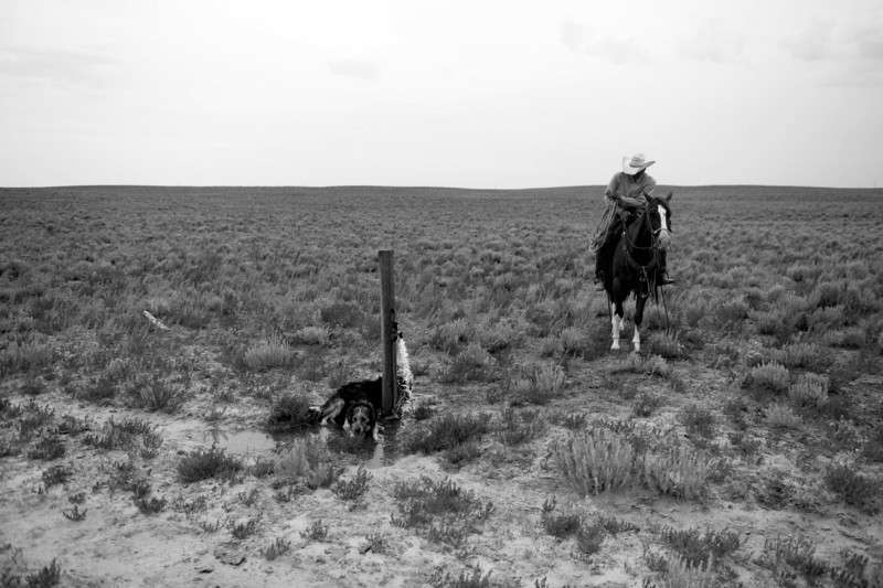 Description of  EADS, CO-July 24, 2013: Gary Wollert, a rancher in Eads, CO, stops to let his dogs get a drink as they move cattle, July 24, 2013. Wollert is worried that his cattle are going to run out of pastureland if they don't get rain soon to grow more natural grasses. (Photo By RJ Sangosti/The Denver Post)