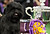 Banana Joe, an Affenpinscher, stands after winning the 137th Westminster Kennel Club Dog Show at Madison Square Garden in New York, February 12, 2013. REUTERS/Shannon Stapleton