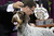 NEW YORK, NY - FEBRUARY 12:  German Wirehaired Pointer Gch Mt. View's Ripsortersilvercharm poses after winning the Sporting Group competition at the 137th Westminster Kennel Club Dog Show on February 12, 2013 in New York City. Best of breed dogs competed for Best in Show at Madison Square Garden Tuesday night. A total of 2,721 dogs from 187 breeds and varieties competed in the event, hailed by organizers as the second oldest sporting competition in America, after the Kentucky Derby.  (Photo by John Moore/Getty Images)