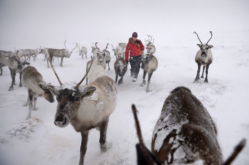 Description of . Eve Grayson, a Reindeer herder of the Cairngorm Reindeer Herd, feeds the deer on December 23, 2013 in Aviemore, Scotland.  (Photo by Jeff J Mitchell/Getty Images)