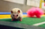 Hedgehogs on the field with pompoms(Photo credit: Animal Planet)