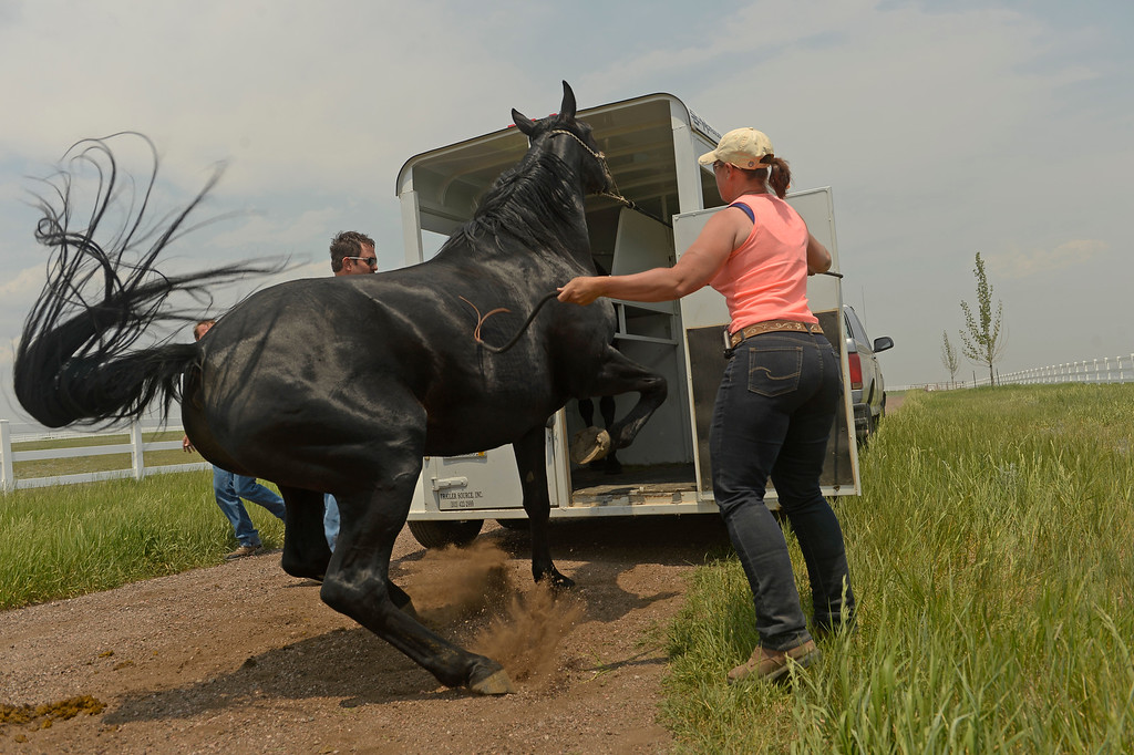Description of . Volunteer horse trainer Kyle Kimball helps guide a skittish horse into a trailer while rancher Alan Erickson evacuates five of his horses from his property along Shiloh Ranch Drive to protect them from the approaching Black Forest Fire near Black Forest, CO, on June 13, 2013.  Photo by Helen H. Richardson/The Denver Post)