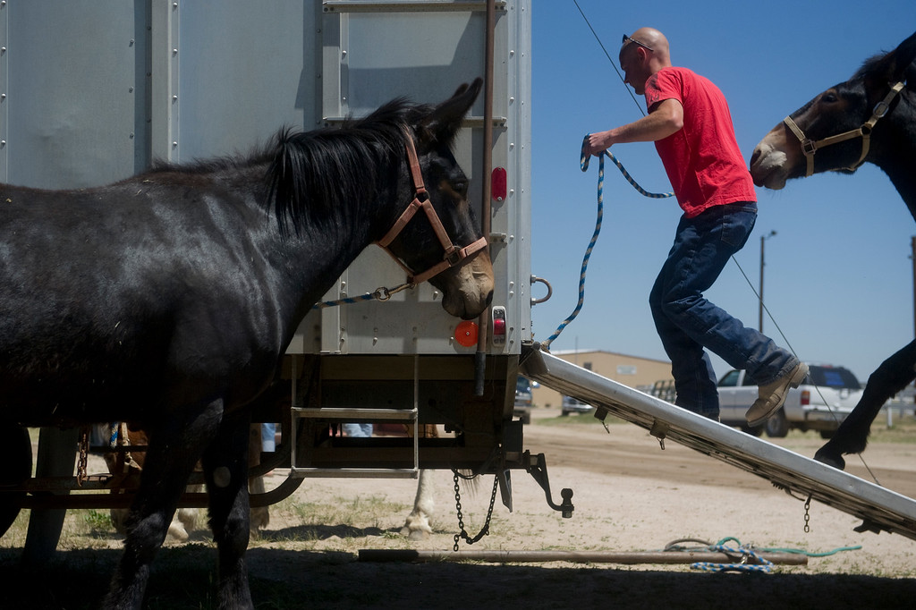 Description of . Billy Holschuh pulls a mule into a trailer at the Elbert County Fairgrounds on Saturday, June 15, 2013.  (Photo By Grant Hindsley / The Denver Post)