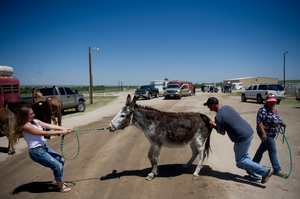 Description of . Megan Geipel, left, Billy Holschuh, and Pam Holschuh attempt to put Cricket, a 40 year-old donkey, in a trailer at Elbert County Fairgrounds on Saturday, June 15, 2013. The Holschuh\'s brought 21 mules and donkeys to the fairgrounds as a preventative measure during their voluntary evacuation due to the Black Forest Fire. Animals were held at the fairgrounds until owners could retrieve them. (Photo By Grant Hindsley / The Denver Post)