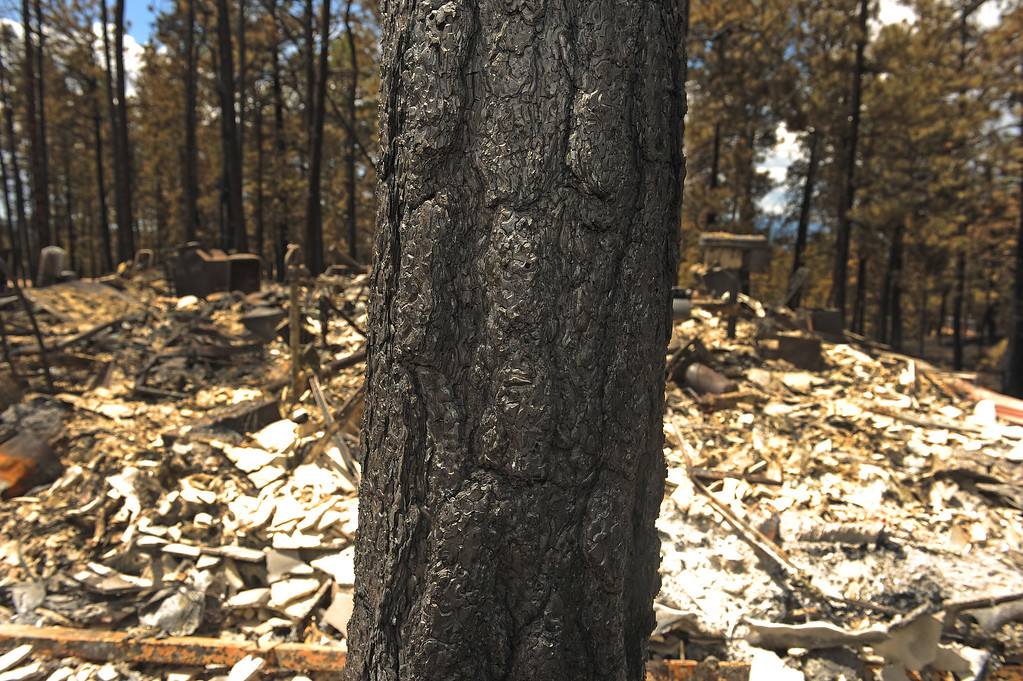 Description of . BLACK FOREST, CO - JUNE 17:   Burned bark on a tree near the remnants of a structure show how hot the fire came through this area in the Black Forest Fire on June 16, 2013.  Photo by Helen H. Richardson/The Denver Post)