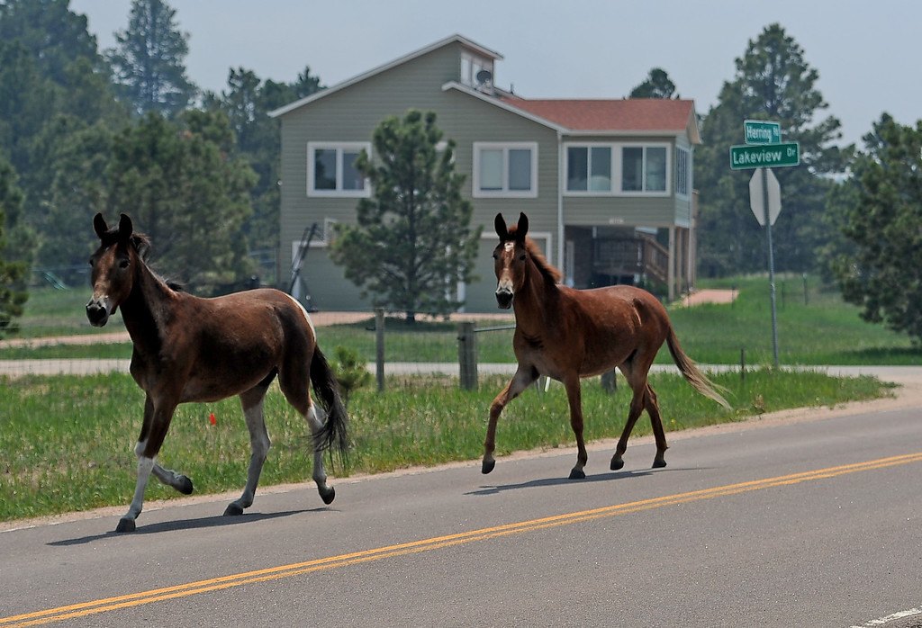 Description of . COLORADO SPRINGS, CO - JUNE 12: Animal Welfare officers from Pueblo Animal Services, their trailer is just out of view, lure a horse and a mule behind their trailer to get them out of harms way along Herring Road in the midst of the Black Forest on June 12, 2013. The duo stayed close to their house on Herring Road to make sure they could watch the fire and leave if needed. So far the fire has moved east of their house, but the Black Forest fire continues to burn and has yet to have any containment.   Photo by Helen H. Richardson/The Denver Post)