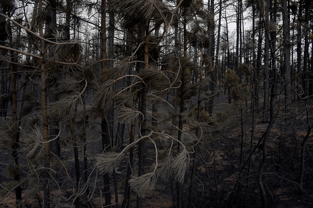 Description of . BLACK FOREST, CO - JUNE 13:   Burned needles on pine trees and landscape show some of the scope of the loss in the midst of the Black Forest Fire on June 13, 2013.  Photo by Helen H. Richardson/The Denver Post)