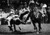 Foster Of Tomball, Texas, Was Still In The Air As He Grabbed This Unwilling Steer By The Horns Monday The well-trained horse brought his rider close to the running target, then moved out of the way during the steer wrestling event at the Stock Show. 1981. Lyn Alweis, The Denver Post  Credit: Denver Post