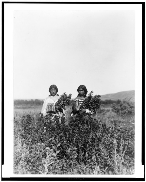 Description of  Title: Goldenrod meadows--Piegan.  <br />Date Created/Published: c1910.  <br />Photograph by Edward S. Curtis, Curtis (Edward S.) Collection, Library of Congress Prints and Photographs Division Washington, D.C.