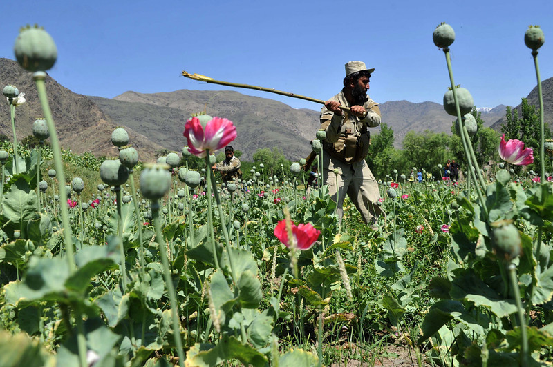Description of  An Afghan security force member destroys an illegal poppy crop in the Noor Gal district of eastern Kunar province on April 29, 2014. Citing the United Nations Office of Drugs and Crime, John Sopko, the US Special Inspector General for Afghanistan Reconstruction, said January 2014 that the rise in opium production is expected to continue and threaten the stability of the Afghan government. Noorullah Shirzada/AFP/Getty Images