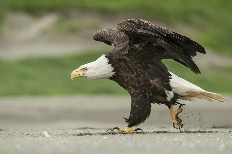 Description of  Bald eagle (Haliaeetus leucocephalus) moving towards another eagle on the beach, in a fight over food. Unalaska, Aleutian Islands, Alaska, July 2010. © Klaus Nigge / National Geographic Creative for National Geographic Magazine