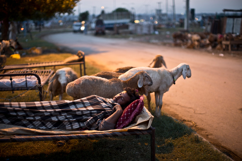 Description of  A Pakistani vendor sleeps on a bed along a street next to his sheep, on the Muslim holiday of Eid al-Adha, or Feast of Sacrifice, on the outskirts of Islamabad, Pakistan, at dawn, Monday, Oct. 6, 2014. Muslims around the world celebrate Eid to commemorate what Muslims believe was Prophet Abraham's willingness to sacrifice his son Ismail.  On the start of the holiday Muslims slaughter sheep, cattle and other livestock, and give part of the meat to the poor. (AP Photo/Muhammed Muheisen)