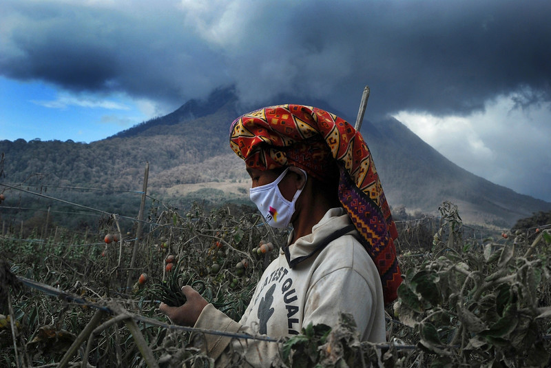 Description of  A woman wearing a facemask, as protection from volcanic ash, harvests ash covered chillies and tomatoes at a village in Karo district located, Sumatra island on October 14, 2014 as Mount Sinabung volcano (background) continued to erupt. In February, Sinabung's eruption killed about 17 people and forced more than 33,000 others to flee their homes. AFP PHOTO / SUTANTA ADITYA/AFP/Getty Images
