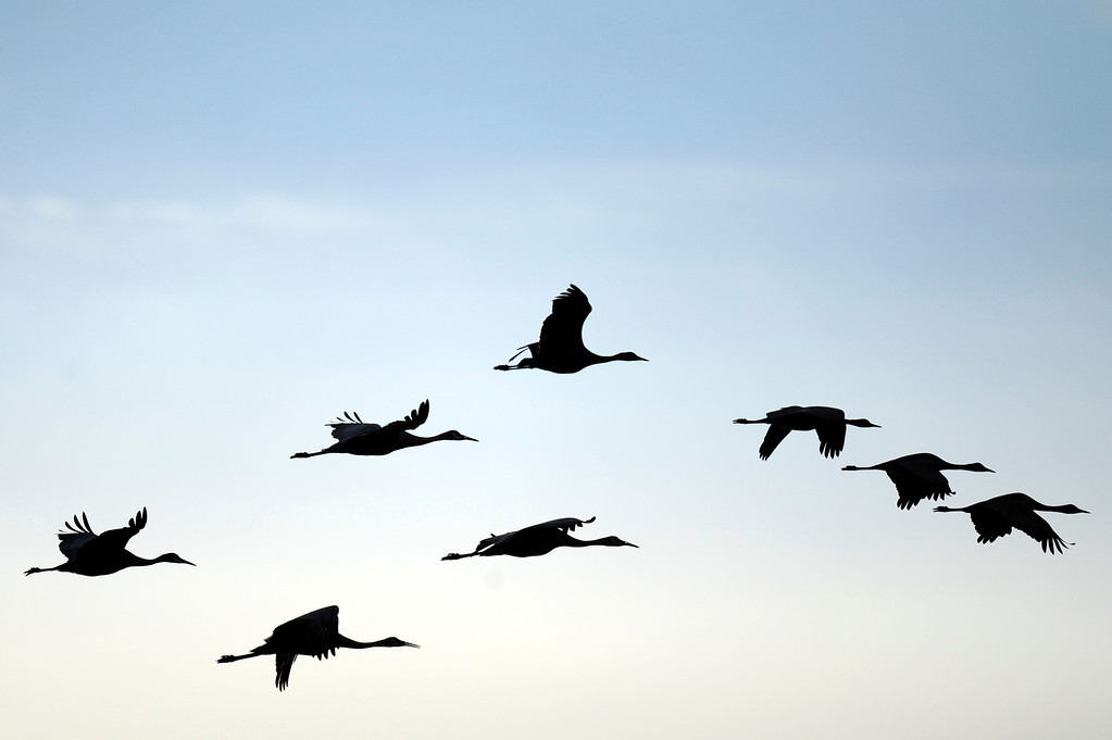 . A flock of sandhill cranes descends on a barley field at the Monte Vista National Wildlife Refuge on Sunday, March 6, 2011. The fields, which are grown until just before the birds arrive provide them ample feed during their migratory process. (Photo by AAron Ontiveroz, The Denver Post)