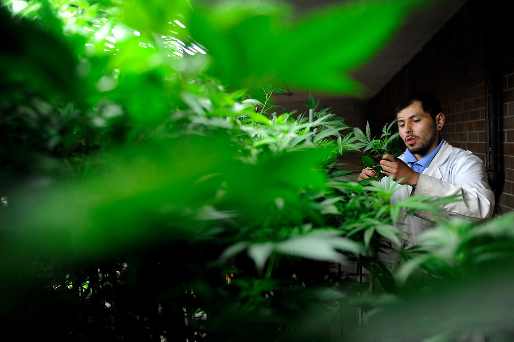 Description of . DENVER, CO - MARCH 27: Master Gardner Matthew Lopez trims off small limbs from a mother plant as he clones a strain of cannabis called Agent Orange at Northern Lights grow facility in Denver, Colorado on March 27, 2014. The retail marijuana business has been booming in Edgewater. No crime or problems have been reported to police by retail marijuana businesses since legal recreational sales began on January 1st.(Photo by Seth McConnell/The Denver Post)