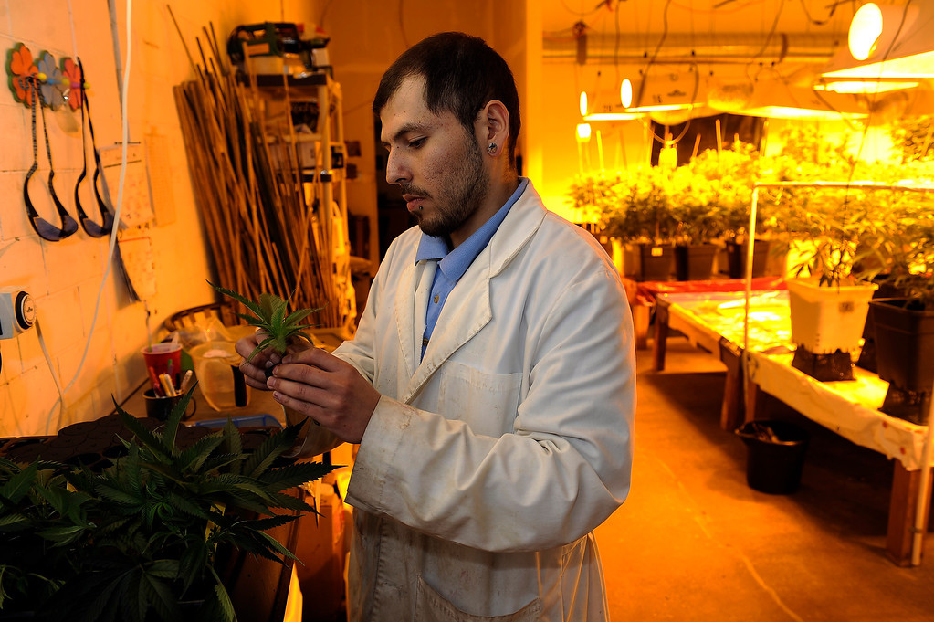 Description of . DENVER, CO - MARCH 27: Master Gardner Matthew Lopez clones a strain of cannabis called Qush at Northern Lights grow facility in Denver, Colorado on March 27, 2014. The retail marijuana business has been booming in Edgewater. No crime or problems have been reported to police by retail marijuana businesses since legal recreational sales began on January 1st.(Photo by Seth McConnell/The Denver Post)