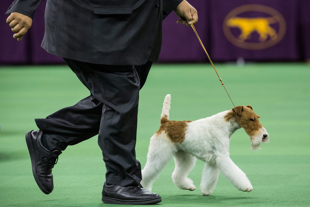 Description of . Sky, a Wire Fox Terrier, competes with her handler, Gabriel Rangel, in the Best in Show category in the Westminster Dog Show on February 11, 2014 in New York City. Sky went on to win the Best in Show award.  (Photo by Andrew Burton/Getty Images)