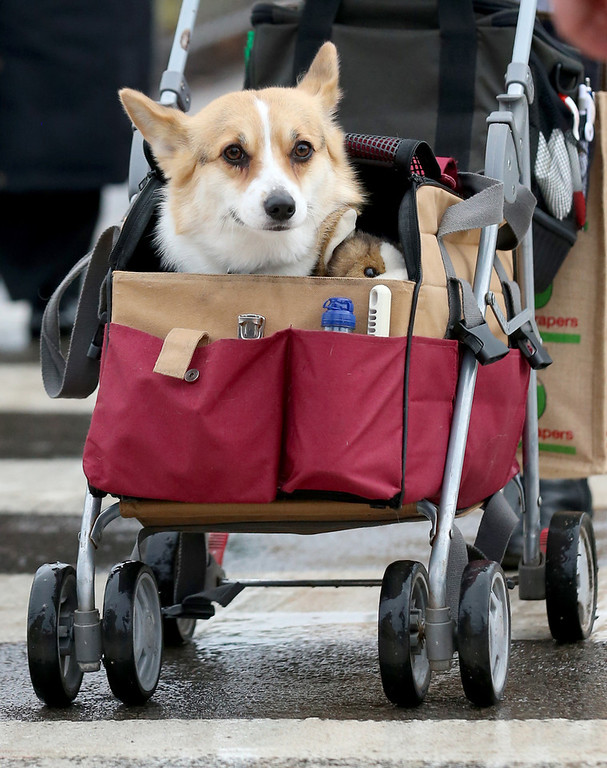 Description of . A dog is pushed in child's pushchair as dogs and their owners arrive to attend the first day of Crufts dog show at the NEC on March 6, 2014 in Birmingham, England. Said to be the largest show of its kind in the world, the annual four-day event, features thousands of dogs, with competitors traveling from countries across the globe to take part. Crufts, which was first held in 1891 and sees thousands of dogs vie for the coveted title of 'Best in Show'.  (Photo by Matt Cardy/Getty Images)