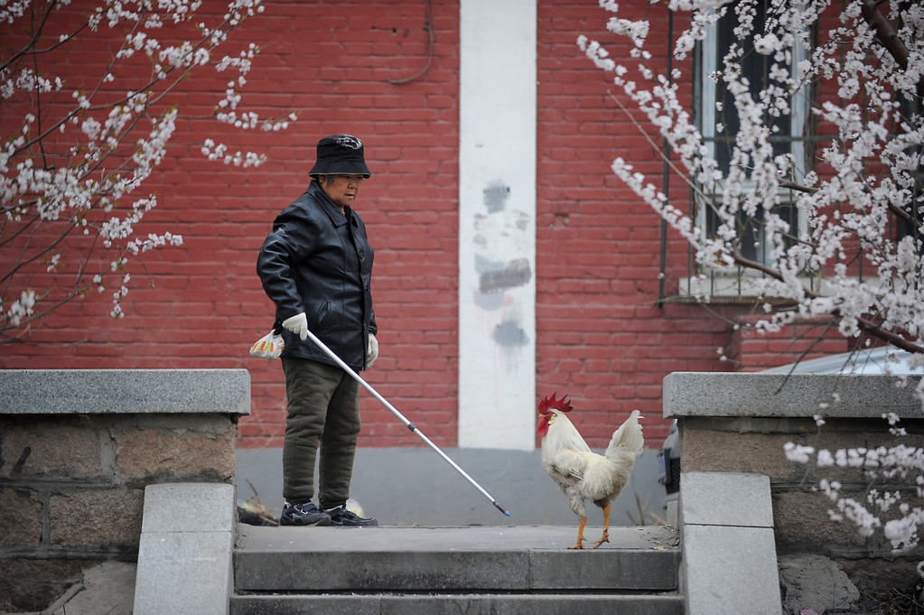 Description of . An elderly woman looks at a cokerel in Beijing on April 4,2013.  A man in the Chinese province of Zhejiang has died of the H7N9 strain of bird flu, state media said on March 3, bringing the total deaths attributed to the virus to three since the first human cases. WANG ZHAO/AFP/Getty Images