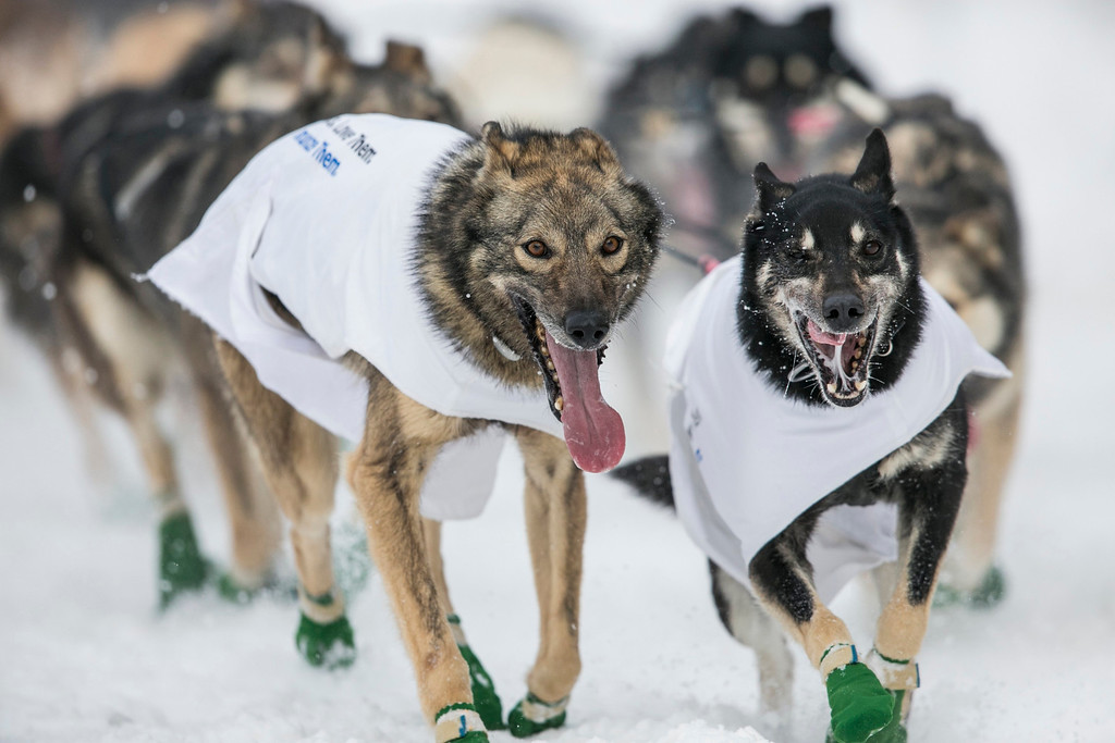 Description of . The lead dogs of musher Richie Diehl race down 4th Avenue at the ceremonial start to the Iditarod dog sled race in downtown Anchorage, Alaska March 2, 2013.   REUTERS/Nathaniel Wilder