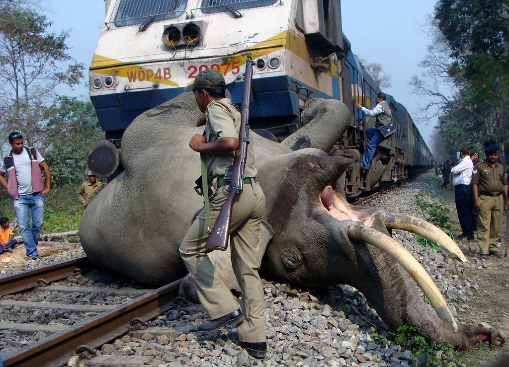 Description of . An Indian forestry worker walks past the body of a tusker elephant after it was struck and killed by a train at the Buxa Tiger Reserve, some 12 kms from Alipurduar on March 5, 2013. STR/AFP/Getty Images