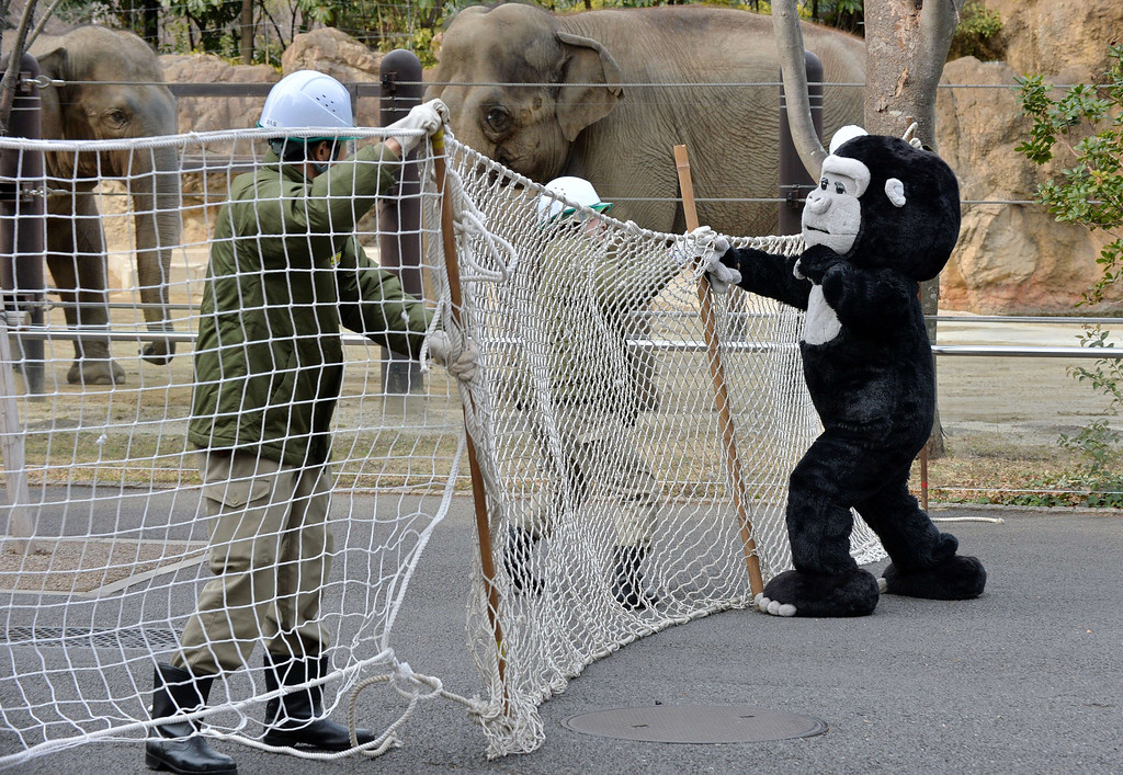 Description of . Zookeepers hold a net to capture an animal keeper dressed in a gorilla costume during a drill to practice what to do in the event of an animal escape at the Ueno zoo in Tokyo on February 6, 2014. About 70 zookeepers participated in the annual drill.     AFP PHOTO / KAZUHIRO  NOGI/AFP/Getty Images