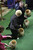 Pomeranians are shown in the ring during the 137th Westminster Kennel Club dog show, Monday, Feb. 11, 2013 in New York.  (AP Photo/Mary Altaffer)