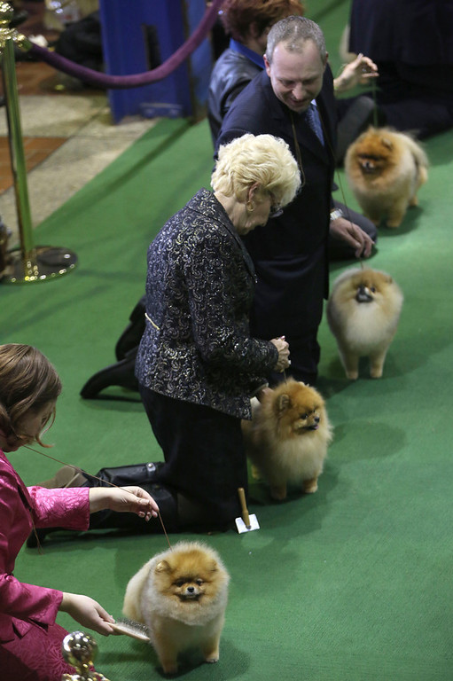 Description of . Pomeranians are shown in the ring during the 137th Westminster Kennel Club dog show, Monday, Feb. 11, 2013 in New York.  (AP Photo/Mary Altaffer)