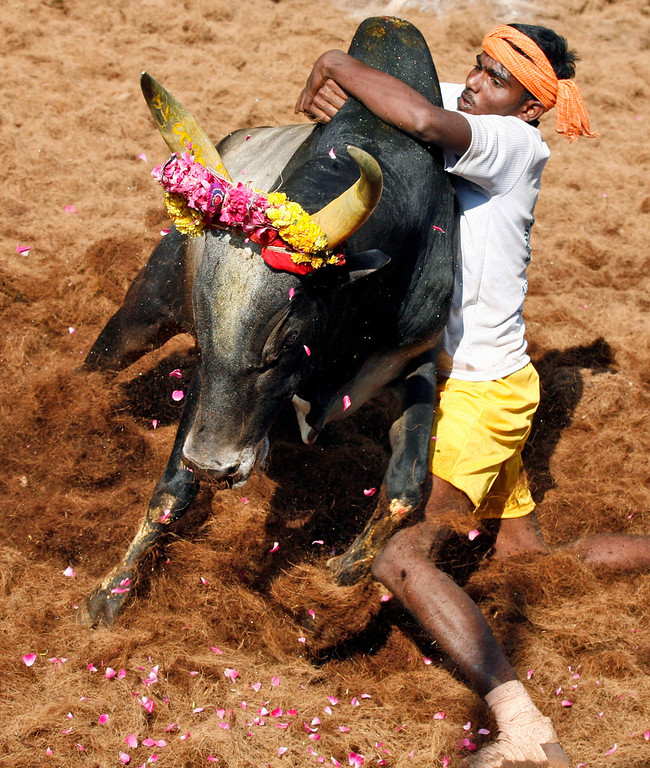 Description of . A bull tamers tries to control a bull during the bull-taming sport called Jallikattu, in Alanganallur, about 530 kilometers (331 miles) south of Chennai, India, Wednesday, Jan. 16, 2013. Jallikattu is an ancient heroic sporting event of the Tamils played during the harvest festival of Pongal. (AP Photo/Arun Sankar K.)