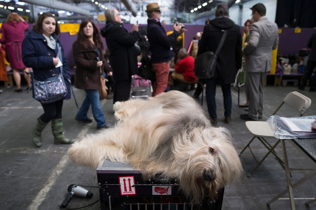 Description of . Cagney, a Briard, rests in the beaching area during the Westminster Kennel Club dog show, Monday, Feb. 10, 2014, in New York. (AP Photo/John Minchillo)