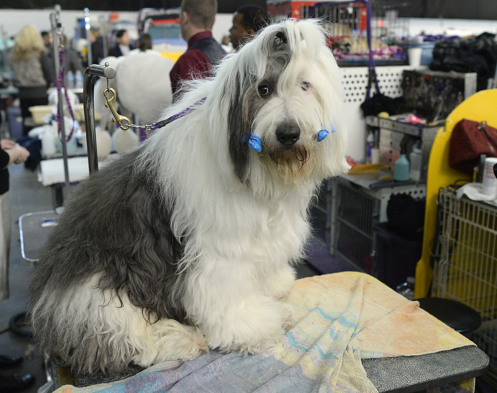 Description of . An  Old English Sheepdog waits in the benching area  at  Pier 92 and 94 in New York City  for the first day of competition at the 138th Annual Westminster Kennel Club Dog Show February 10, 2014. The Westminster Kennel Club Dog Show is a two-day, all-breed show that takes place at both Pier 92 and 94 and at Madison Square Garden in New York City.   TIMOTHY CLARY/AFP/Getty Images