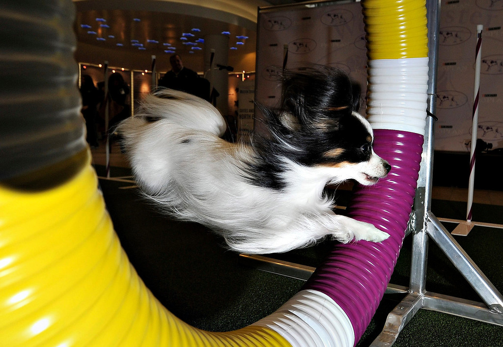 Description of . A papillon named Carly performs agility tricks during a press conference announcing a new agility portion of the annual Westminster Kennel Club dog show in New York, New York, USA, 15 January 2014. This will be the first year that the annual event will hold a 'Masters Agility Championship' and it will feature 228 dogs, including mixed breeds, which are not a part of the traditional event.  EPA/JUSTIN LANE