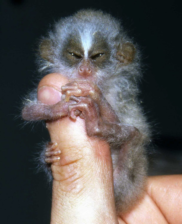 Description of . A baby slender loris is seen in this undated photograph released by the Zoological Society of London.  It isn't often that the northern hairy-nosed wombat, the slender loris, and the pygmy hippopotamus share the spotlight.  But these strange and unusual animals are the focus of a conservation program launched Tuesday by the Zoological Society of London, one that aims to eventually secure the existence of some of the world's rarest mammals.  The program, called EDGE (for Evolutionarily Distinct and Globally Endangered) targets 100 species for scientific study, and the zoological society aims to take action on the top ten by the end of the year.  (AP Photo/Zoological Society of London)