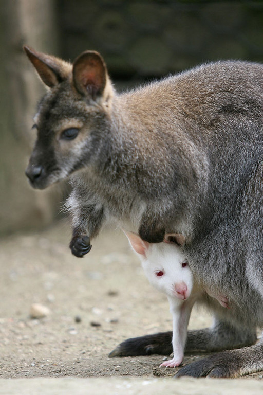 "Description of . Valbrembo, ITALY: An albino wallaby, named ""Pino\"", looks out from his mother\'s pouch at \""Le Cornelle\"" zoo park in Valbrembo near Bergamo, 28 March 2007.  AFP PHOTO / GIUSEPPE CACACE"
