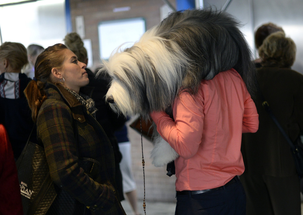 Description of . A handler carries an Old English Sheepdog to the benching area at Pier 92 and 94 in New York City  for the first day of competition at the 138th Annual Westminster Kennel Club Dog Show February 10, 2014. The Westminster Kennel Club Dog Show is a two-day, all-breed show that takes place at both Pier 92 and 94 and at Madison Square Garden in New York City .    TIMOTHY CLARY/AFP/Getty Images