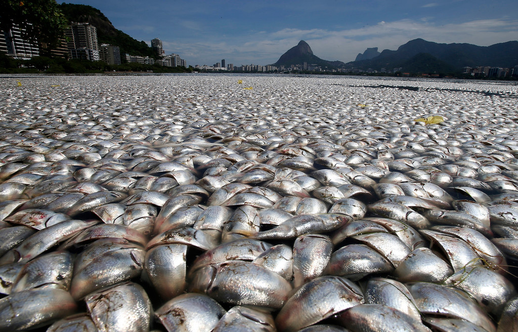 Description of . Dead fish are seen at the Rodrigo de Freitas lagoon in Rio de Janeiro, March 13, 2013. Thousands of fish have been removed from the lagoon after oxygen levels dropped due to pollution, according to local media. Rodrigo de Freitas lagoon will host the rowing competitions in the 2016 Olympic Games. REUTERS/Sergio Moraes