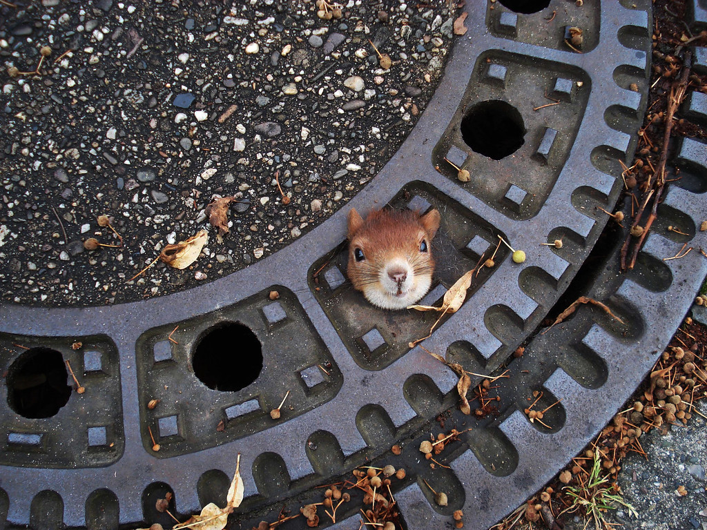 Description of . In this Aug. 5, 2012 file photo, and publicly provided by the police department in Hanover, Germany,  a squirrel is trapped in a manhole cover in Isenhagen, northern Germany. After they were called by neighbors, police managed to free the animal by using olive oil.  (AP Photo/Police Hanover, File)