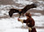 A tamed golden eagle lands on the arm of a hunter during an annual hunting competition in Chengelsy Gorge, some 150 km (93 miles) east of Almaty February 22, 2013. Picture taken February 22, 2013.  REUTERS/Shamil Zhumatov