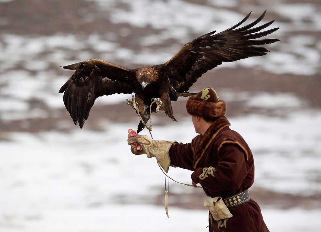 Description of . A tamed golden eagle lands on the arm of a hunter during an annual hunting competition in Chengelsy Gorge, some 150 km (93 miles) east of Almaty February 22, 2013. Picture taken February 22, 2013.  REUTERS/Shamil Zhumatov