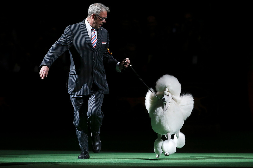 Description of . Ally, a standard poodle, enters the ring for the best of show competition the Westminster Kennel Club dog show, Tuesday, Feb. 11, 2014, in New York. Ally, the runner-up, won reserve best in show. (AP Photo/John Minchillo)