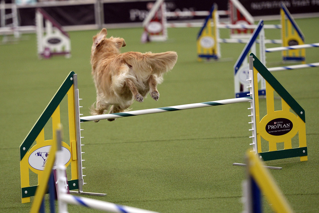 Description of . A Golden Retriever in the Agility Ring during the first-ever Masters Agility Championship on February 7, 2014 in New York at the 138th Annual Westminster Kennel Club Dog Show. Dogs entered in the agility trial will be on hand to demonstrate skills required to negotiate some of the challenging obstacles that they will need to negotiate.      TIMOTHY A. CLARY/AFP/Getty Images
