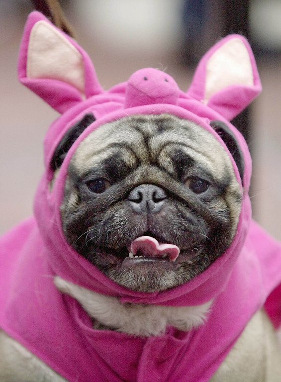 Description of . This Sunday, Oct. 28, 2001 file photo shows Hercules, a pug, dressed up like a pig waits to take the stage during the Halloween Pet Parade and Costume Contest in Coconut Grove, Fla.  Pet owners will dress up millions of dogs this month for Halloween parades, parties, pictures, contests or candy hunts.   (AP Photo/Amy E. Conn, FILE)