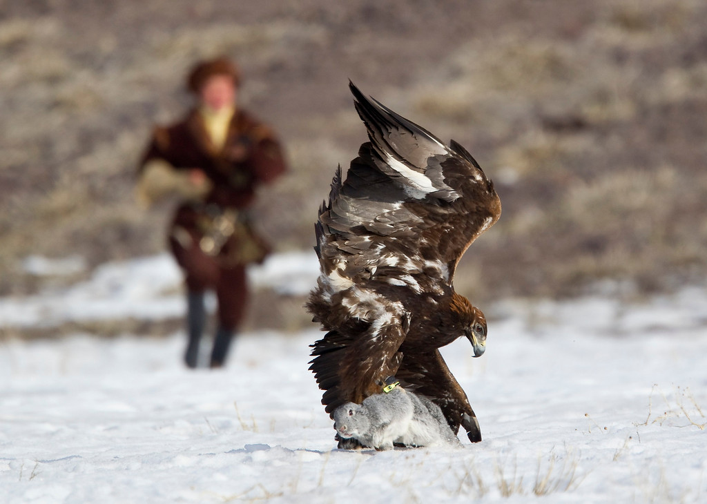 Description of . A Kazakh hunter runs towards to his tamed golden eagle after it catches a rabbit during an annual hunting competition in Chengelsy Gorge, some 150 km (93 miles) east of Almaty February 23, 2013.  REUTERS/Shamil Zhumatov