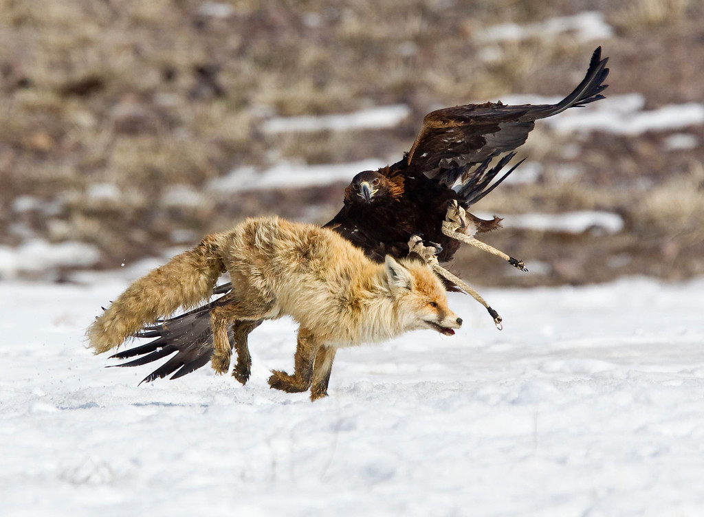 Description of . A tamed golden eagle attacks a fox during an annual hunting competition in Chengelsy Gorge, some 150 km (93 miles) east of Almaty February 23, 2013.  REUTERS/Shamil Zhumatov