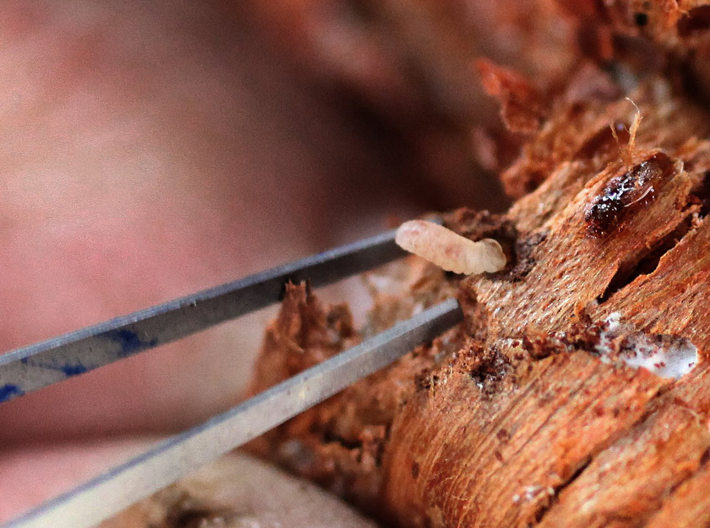Description of . This Oct. 14, 2011 photo shows Mountain Pine Beetle larvae that live inside whitebark pines, feeding on tree tissue that carries water and nutrients in Twisp, Wash.  (AP Photo/The Seattle Times, Steve Ringman)