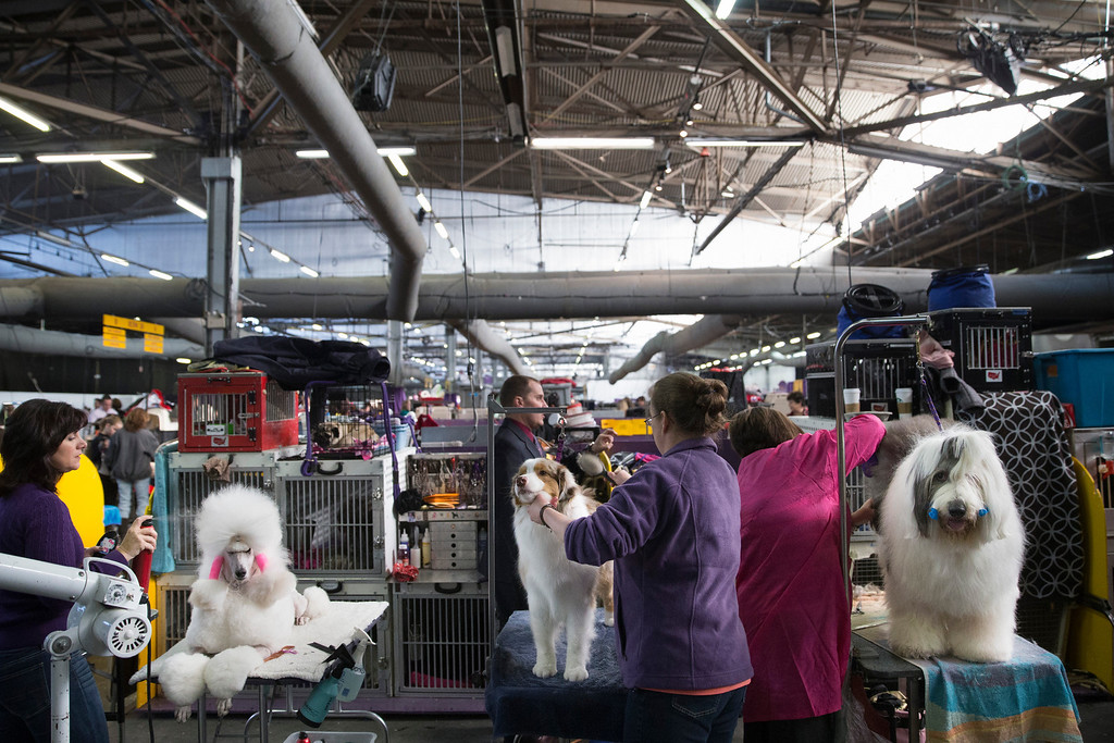 Description of . Dogs are prepped in the benching area before competition at the Westminster Kennel Club dog show, Monday, Feb. 10, 2014, in New York. (AP Photo/John Minchillo)