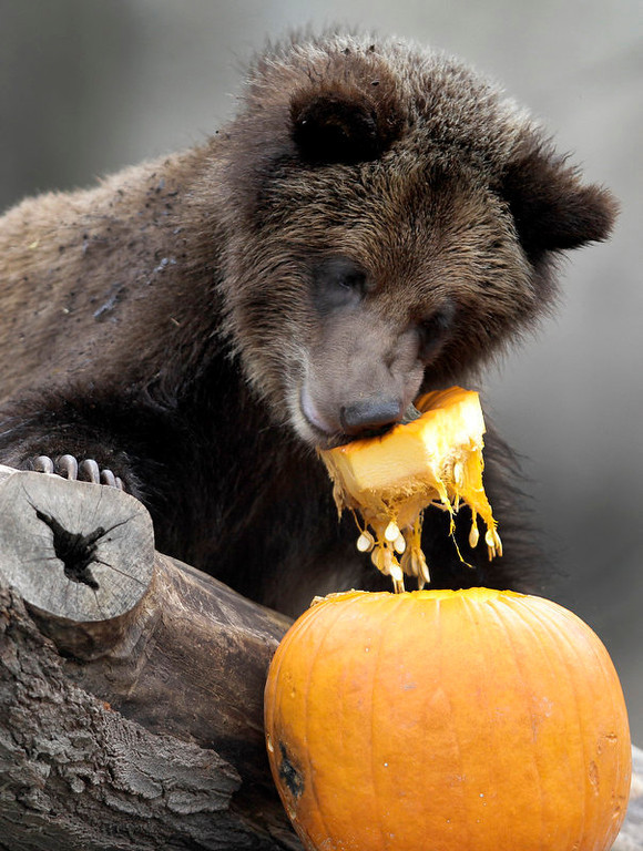 Description of . One of the Cleveland Metroparks Zoo's four 11-month-old grizzly bear cubs enjoys a pumpkin for a snack at the Zoo in Cleveland on Tuesday, Nov. 22, 2011.  Besides providing the animals with enrichment, the pumpkins are a preview to the treats many of the animals will receive this coming Thursday, which is Thanksgiving Day.  The Zoo is open and free to the public on Thanksgiving Day as well. (AP Photo/Amy Sancetta)