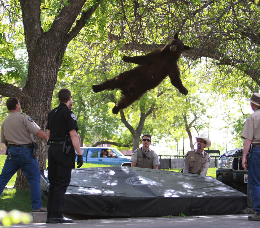 Description of . In this April 26, 2012 file photo provided by the CU Independent, shows a bear that wandered into the University of Colorado Boulder, Colo., dorm complex Williams Village falling from a tree after being tranquilized by Colorado wildlife officials. Colorado University police spokesman Ryan Huff said the bear was likely 1-3 years old and weighed somewhere between 150-200 pounds. (AP Photo/CU Independent, Andy Duann, File)