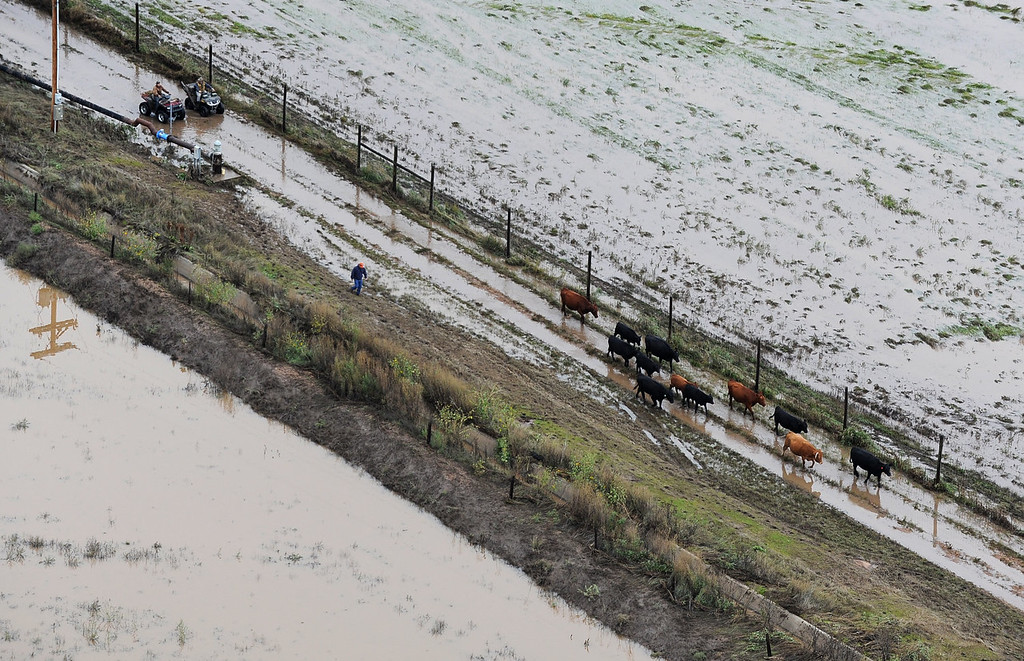Description of . Unidentified men on ATV's herd cattle from flooded pastors to safety outside Milliken. makes his way through pastureland outside Milliken. Aerial photographs of the South Platte River flooding cities and farms in Weld County Colorado. (Photo By Tim Rasmussen/The Denver Post)